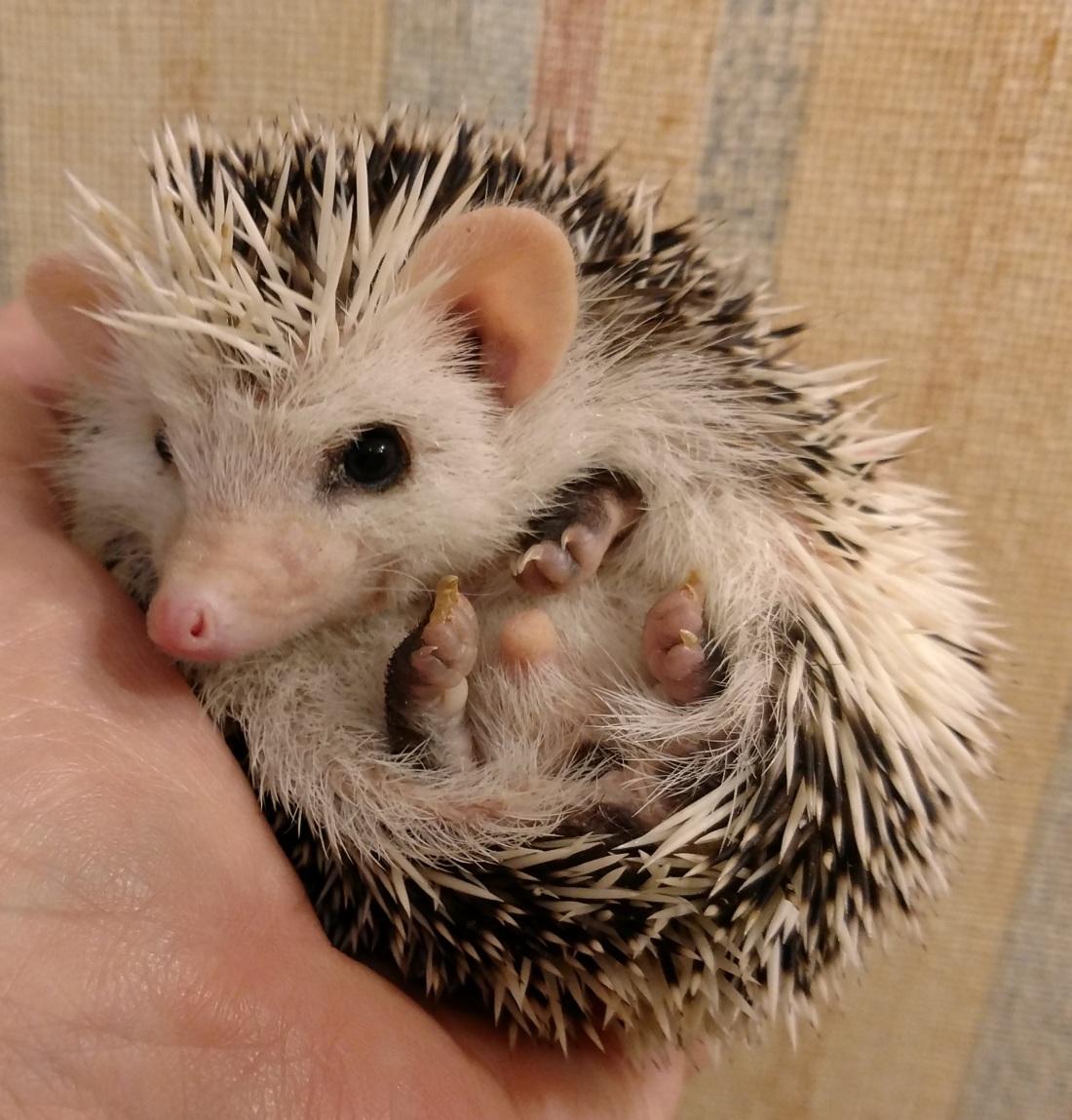 Dark Gray Pinto Baby Hedgehog