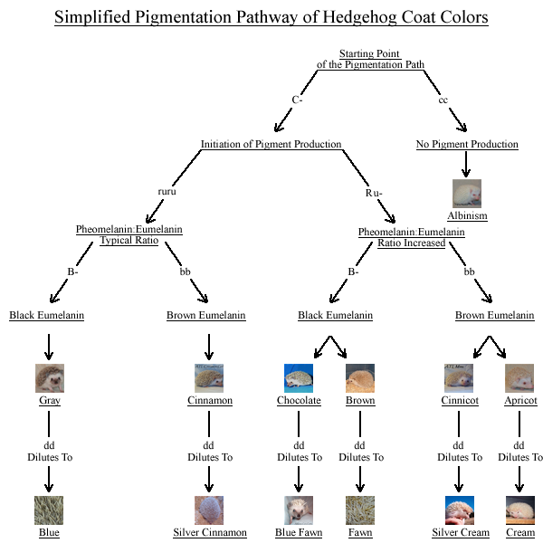 Hedgehog Pigmentation Pathways